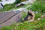 Young Hoary Marmot (Marmota caligata) foraging in an alpine meadow among big rocks along the Pacific Crest Trail in the Goat Rocks Wilderness, Gifford Pinchot National Forest, Cascade Mountains, Washington State, USA, September, Goat_Rocks-78