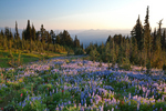 Last light of evening on the vast subalpine lupine meadows in the open country above Snowgrass Flats, near the Pacific Crest Trail in the Goat Rocks Wilderness, Gifford Pinchot National Forest, Cascade Mountains, Washington State, USA, September, Goat_Rocks-426