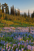 Last light of evening on the subalpine lupine meadows in the open country above Snowgrass Flats, with Mount Adams towering behind, near the Pacific Crest Trail in the Goat Rocks Wilderness, Gifford Pinchot National Forest, Cascade Mountains, Washington State, USA, September, Goat_Rocks-427