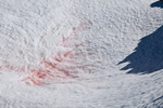 Watermelon Snow (aka Blood Snow, Snow Algae, and Red Snow) (Chlamydomonas nivalis) on Packwood Glacier in the Goat Rocks Wilderness, Gifford Pinchot National Forest, Cascade Mountains, Washington State, USA, September, Goat_Rocks-567