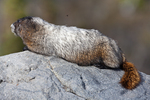 Hoary Marmot (Marmota caligata) sunning atop a lookout rock, with a fly buzzing above, along the Summerland Trail in Mount Rainier National Park, Washington State, USA, Mt_Rainier_Summerland-48