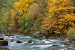 Autumn forest along Staircase Rapids of the North Fork Skokomish River in Olympic National Park, Washington, USA, October, Olympic_Peninsula_Autumn-30
