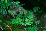 Aleutian Maidenhair (aka Western Maidenhair) (Adiantum aleutian) in a moist area sheltered by cliffs in the Staircase area of the North Fork Skokomish River of Olympic National Park, Washington State, USA, Olympic_Peninsula_Autumn-107