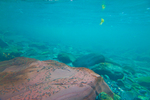 Underwater view of riverbed and clear water of the Staircase Rapids area of the North Fork Skokomish River of Olympic National Park, Washington State, USA, Olympic_Peninsula_Autumn-448