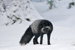 Silver Fox (Vulpes vulpes), a genetic color variant of the Red Fox, stalking a mouse under the snow in the Longmire area of Mount Rainier National Park, Washington State, USA, Mount_Rainier_Longmire-18