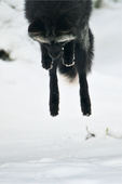 Silver Fox (Vulpes vulpes), a genetic color variant of the Red Fox, leaping and pouncing on a mouse under the snow in the Longmire area of Mount Rainier National Park, Washington State, USA, Mount_Rainier_Longmire-21