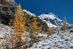 Autumn Alpine Larches (aka Subalpine Larch or Lyall's Larch) (Larix lyallii) and autumn snow along the East Opabin Trail with Ringrose Peak in the distance, on the Opabin Plateau in Yoho National Park, British Columbia, Canada, Yoho_National_Park-6