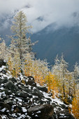 Autumn Alpine Larches (aka Subalpine Larch or Lyall's Larch) (Larix lyallii) above McArthur Valley on a morning of fresh early autumn snow in Yoho National Park, British Columbia, Canada, Yoho_NP_Alpine_Larch-12