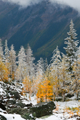 Autumn Alpine Larches (aka Subalpine Larch or Lyall's Larch) (Larix lyallii) above McArthur Valley on a morning of fresh early autumn snow in Yoho National Park, British Columbia, Canada, Yoho_NP_Alpine_Larch-14