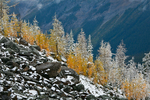 Autumn Alpine Larches (aka Subalpine Larch or Lyall's Larch) (Larix lyallii) above McArthur Valley on a morning of fresh early autumn snow in Yoho National Park, British Columbia, Canada, Yoho_NP_Alpine_Larch-17