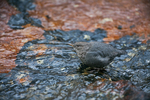 Juvenile American Dipper (Cinclus mexicanus), paused to look around, while searching for food in a mountain stream on the Opabin Plateau above Lake O'Hara in Yoho National Park, British Columbia, Canada, Yoho_NP_Dipper-4