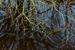 Lichen-covered branches and reflections of trees and shrubs in a slough along the Boundary Bay Dyke Trail, British Columbia, Canada, Boundary_Bay-92