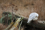 Snowy Owl (Bubo scandiacus) itching its head with its talon while perched on driftwood along the shore of Boundary Bay, British Columbia, Canada, Boundary_Bay-133