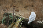 Snowy Owl (Bubo scandiacus) perched on driftwood along the shore of Boundary Bay, British Columbia, Canada, Boundary_Bay-140
