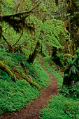 Spring leaves and growth along the Quinault Valley trail to the Enchanted Valley in the Olympic Mountains, Olympic National Park, Washington State, USA.