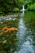 Dog cooling off in Eagle Creek after hiking with its owners to Punchbowl Falls, Eagle Creek Trail, Columbia River Gorge National Scenic Area, Oregon, USA.