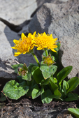 Yellow wildflower (probably Olympic Mountain Ragwort, Senecio neowebsteri, an endemic to the Olympic Mountains) above timberline growing in talus in the cirque known as Royal Basin, Olympic National Park, Washington State, USA.