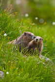 Wary pair of young Olympic Marmots (Marmota olympus), endemic to the Olympic Mountains, near burrow entrance in a subalpine meadow high in Royal Basin, Olympic National Park, Washington State, USA.