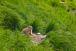 Olympic Marmot (Marmota olympus), endemic to the Olympic Mountains, sitting at its burrow entrance in a subalpine meadow high in Royal Basin, Olympic National Park, Washington State, USA.