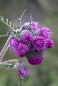 Edible Thistle (Cirsium edule) (aka Indian Thistle) blooming in a subalpine meadow in Royal Basin, Olympic National Park, Washington State, USA.