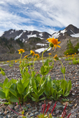 Arnica (Arnica sp.) flowering near timberline in the cirque known as Royal Basin, Olympic National Park, Washington State, USA.