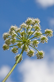 Umbel of flowers of Kneeling Angelica (Angelica genuflexa) along the Royal Basin Trail in Olympic National Park, Washington State, USA