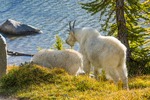 Mountain Goat (Oreamnos americanus)  nanny and her kid, grazing in a subalpine meadow in The Enchantments just above Perfection Lake (aka Rune Lake), Cascade Range, Okanogan-Wenatchee National Forest, Washington State, USA