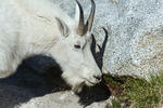 Mountain Goat (Oreamnos americanus)  nanny, grazing on vegetation in a rocky subalpine meadow near Perfection Lake (aka Rune Lake), and casting a shadow on a granite boulder, in The Enchantments, Cascade Range, Okanogan-Wenatchee National Forest, Washington State, USA