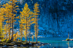 Autumn Alpine Larch (aka Subalpine Larch and Lyall's Larch) (Larix lyallii) glowing with golden color along the shore of Perfection Lake (aka Rune Lake), in The Enchantments, Cascade Range, Okanogan-Wenatchee National Forest, Washington State, USA