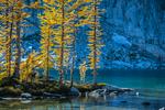 Autumn Alpine Larch (aka Subalpine Larch and Lyall's Larch) (Larix lyallii) glowing with golden color along the shore of Perfection Lake (aka Rune Lake), in The Enchantments, Cascade Range, Okanogan-Wenatchee National Forest, Washington State, USA