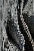 Weathered wood of a dead, old tree along Crystal Lake in The Enchantments, Cascade Range, Okanogan-Wenatchee National Forest, Washington State, USA
