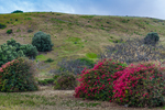 Bougainvillea planted near the ranch house at Smugglers Cove, at the mouth of Smugglers Canyon, on Santa Cruz Island in Channel Islands National Park, California, USA.