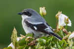 Loggerhead Shrike (Lanius ludovicianus anthonyi), an uncommon endemic subspecies of Channel Islands National Park, photographed on Santa Cruz Island, California, USA.