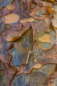 Bark of Paperbark Maple, Acer griseum, showing its distinctive coppery and scaly surface, in the Washington Park Arboretum, University of Washington, Seattle, Washington State, USA
