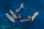 A raft of California Sea Lions (Zalophus californianus) swimming in the kelp forest of Cathedral Cove off East Anacapa Island in the Pacific Ocean, Channel Islands National Park, California, USA