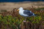 Western Gull (Larus occidentalis), part of the largest breeding colony of Western Gulls on Earth,  perched atop Giant Coreopsis (Coreopsis gigantea), on East Anacapa Island, Channel Islands National Park, Callifornia, USA