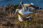 Western Gull (Larus occidentalis) pair, part of the largest breeding colony of Western Gulls on Earth, male mounting female for mating, on East Anacapa Island, Channel Islands National Park, Callifornia, USA