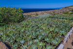 Sealettuce (aka Sand Lettuce and Coast Dudleya) (Dudleya caespitosa) growing in a nursery as part of a native plant revegetation project on East Anacapa Island, Channel Islands National Park, Callifornia, USA