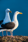 Western Gull (Larus occidentalis) pair, part of the largest breeding colony of Western Gulls on Earth, on a possible nest site, on East Anacapa Island, with the blue Pacific Ocean behind, Channel Islands National Park, Callifornia, USA