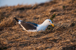 Western Gull (Larus occidentalis), part of the largest breeding colony of Western Gulls on Earth), trying out a nesting site on East Anacapa Island, Channel Islands National Park, Callifornia, USA