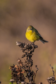 Orange-crowned Warbler (Oreothlypis celata) male foraging on Anacapa Island, Channel Islands National Park, California, USA
