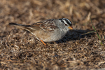 White-crowned Sparrow (Zonotrichia leucophrys) eating seeds on the ground of  East Anacapa Island in Channel Islands National Park, California, USA