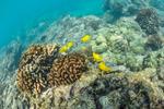 Yellow Tang, Zebrasoma flavescens, in their coral reef habitat at Two Steps (aka Pu'uhonua O Honaunau or Honaunau or Place of Refuge), Big Island, Hawaii, USA