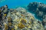 Christmas Wrasse (Thalassoma trilobatum) and other fish in the coral reef habitat at Two Steps (aka Pu'uhonua O Honaunau or Honaunau or Place of Refuge), Big Island, Hawaii, USA
