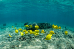 School of Yellow Tang, Zebrasoma flavescens, foraging in the vicinity of other fish along coral reef at Kahalu'u Beach Park in the Kailua-Kona area of the Big Island of Hawaii, USA