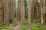 Beautiful grove of old-growth Western Hemlocks, Tsuga heterophylla, along the Upper Dungeness Trail in Olympic National Forest, Washington State, USA