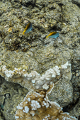 Pair of Threadfin Butterflyfish, Chaetodon auriga, with coral in the Kapoho Tide Pools (Wai'opae Tidepools Marine Life Conservation District), south of Hilo, Hawaii, USA