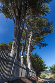 Line of Monterey Cypress, Cupressus macrocarpa, trees planted along the front of Cuffey's Cove Catholic Cemetery, along SR 1 in Menocino County, California, USA
