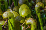 Carnivorous Cobra-lily, aka Darlingtonia, Pitcher Plant, and Cobra-orchid, Darlingtonia californica, in fen habitat at the Darlingtonia State Natural Site and Wayside, near Florence, Oregon, USA