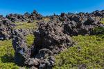 Common Juniper, aka Dwarf Juniper and Ground Juniper, Juniperus communis var. montana, in lava beds along the Highline Trail at Mt. Adams, Mt. Adams Wilderness, Gifford Pinchot National Forest, Cascade Mountains, Washington State, USA